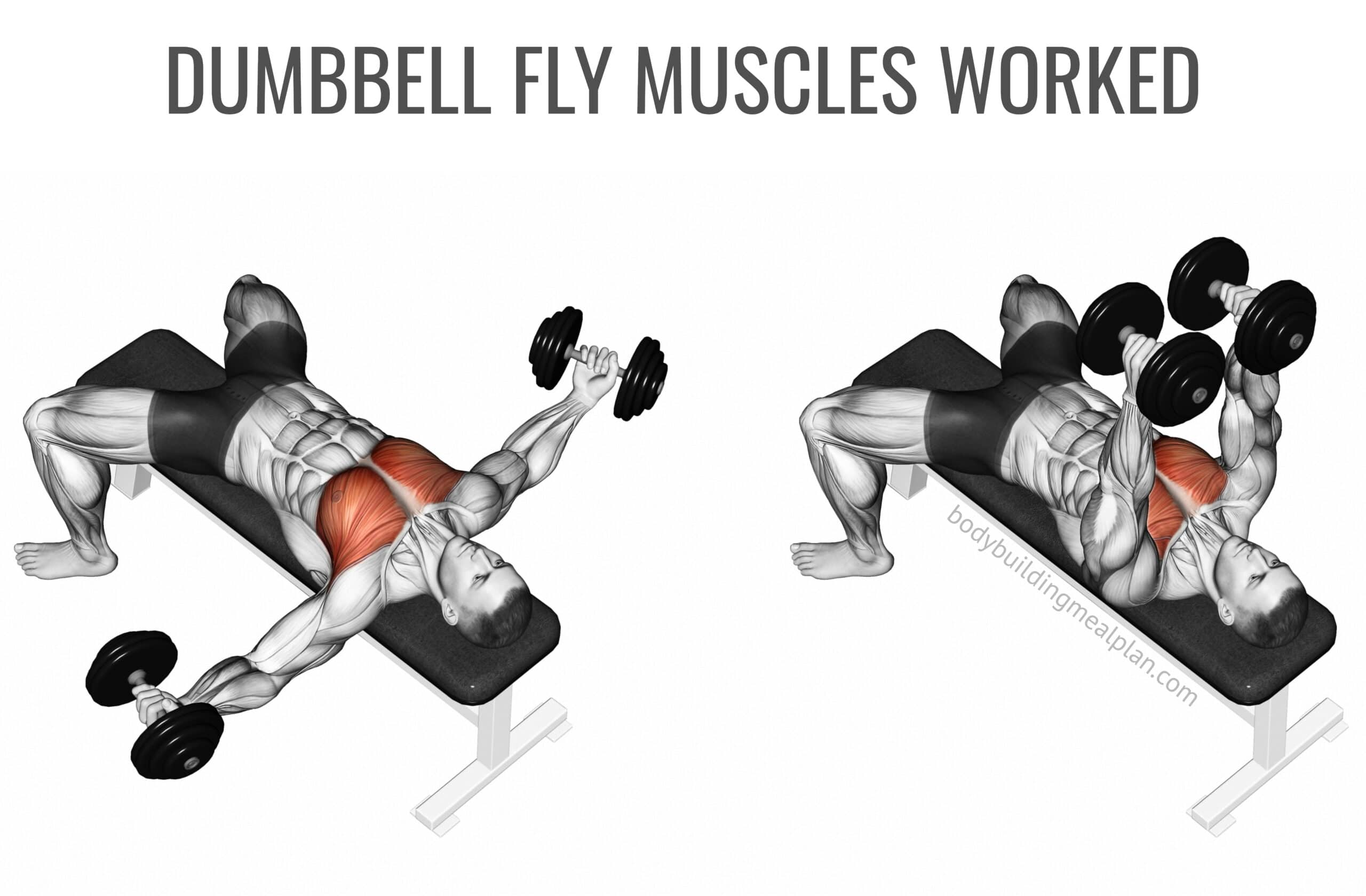 Dumbbell Fly Muscles Worked Image