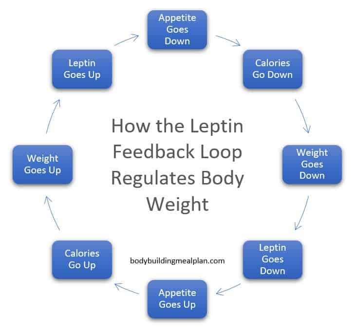 how the leptin feedback loop regulates weight