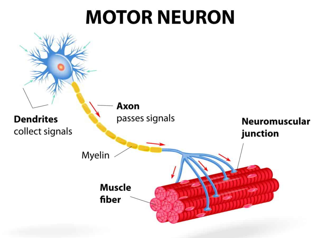 mind muscle connection motor neuron
