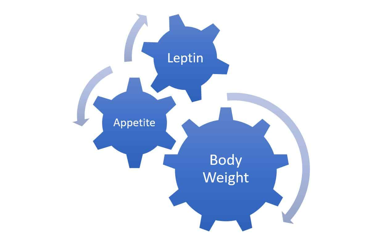 relationship of body weight leptin appetite
